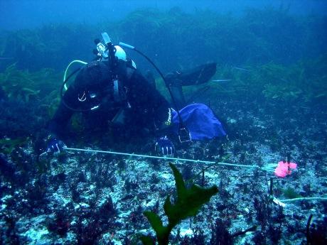 Wernberg - Diver counting seaweed