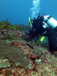 Chenae sampling corals