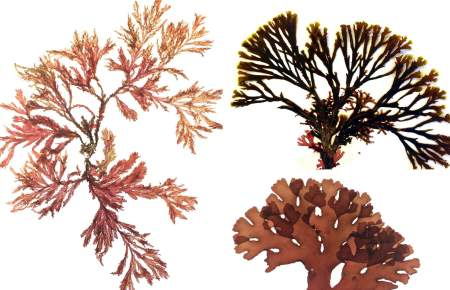 Seaweed collage (T. de Bettignies)